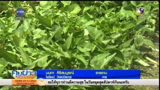 getlinkyoutube.com-เกษตรสร้างชาติ :  นาผักบุ้งขาวหมุนเวียน สร้างรายได้ทุกวัน