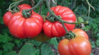 getlinkyoutube.com-Astuce jardinage: Secret contre le mildiou des tomates cultivées en plein air au jardin potager