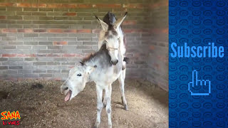 DONKEY MATING Must Watch This Amazing Donkey Mating (education purpose) | SANA ki viNES