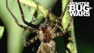 getlinkyoutube.com-Army Ant Soldier vs Ogre Faced Spider | MONSTER BUG WARS