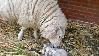 getlinkyoutube.com-De geboorte van een lam