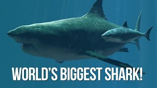 World's Biggest Shark on camera