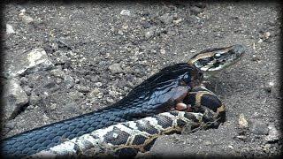getlinkyoutube.com-Indigo Snake Eats Python 01 - Snake Cannibalism