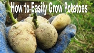 getlinkyoutube.com-How to Successfully Grow Potatoes - Organic Vegetable Gardening