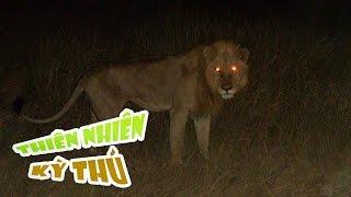 getlinkyoutube.com-Những Con Sư Tử Săn Mồi Ban Đêm - Night Of The Lion