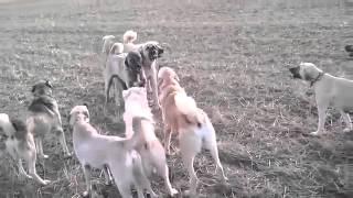 getlinkyoutube.com-Giant kangal dogs fighting