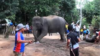 getlinkyoutube.com-ช้างคลอดลูก ณ.หมู่บ้านช้างหัวหิน