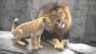 getlinkyoutube.com-Lion cubs meet dad