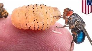 getlinkyoutube.com-Polsku naukowiec z Harvardu wyhodował larwy pod własną skórą