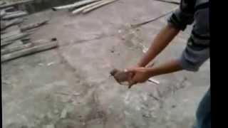 getlinkyoutube.com-Rolling pigeon নোটন কবুতর