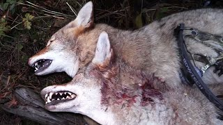 getlinkyoutube.com-Bowhunting Coyotes - Double Kill