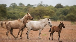 getlinkyoutube.com-Wild Horses and Buffaloes of Doro Ncanga, Sumbawa(HD)