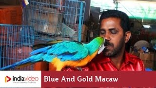 getlinkyoutube.com-Blue and Gold Macaw | India Video