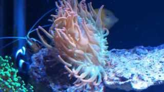 getlinkyoutube.com-First Contact: Black Ocellaris Clownfish adopting Rose Bubble Tip Anemone (extended version)