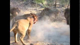 getlinkyoutube.com-Incredible Lion battle