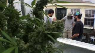getlinkyoutube.com-3 pound Marijuana plant!!!!