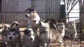 getlinkyoutube.com-alaskan malamute puppies howling