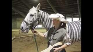 getlinkyoutube.com-Zebra Horse, the Zorse, wins Halloween Costume Parade