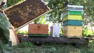 getlinkyoutube.com-Объединение пчелосемей