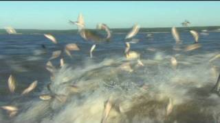getlinkyoutube.com-Battling the Asian Carp invasion