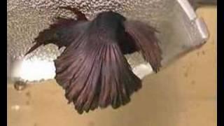 getlinkyoutube.com-Halfmoon male betta spwaning with female crowntail betta www.bettasplendens.co.uk