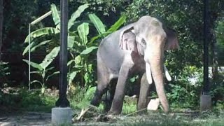 getlinkyoutube.com-Thechikottukavu Ramachandran / musth /elephants of kerala/Tallest & biggest elephant /star elephants