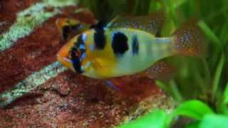 getlinkyoutube.com-Rams Mating : Ramirezi Ramirezi Freshwater Tropical Fish Mating, Laying Eggs & Fertilising