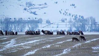 Deer & Elk Grazing in a Snowy Winter Field