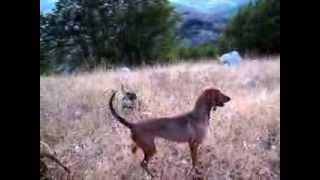 getlinkyoutube.com-accostamento e lavoro su  pastura  lepre  in  alta  montagna