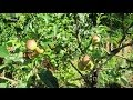 Altoirea in verde- intarirea unei sarpante / green grafted / L'innesto verde / Greffage vert