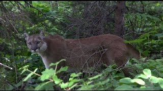 getlinkyoutube.com-Mountain Lion Stand Off With Hiker
