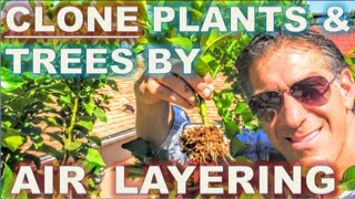 getlinkyoutube.com-CLONE Your Favorite Plants & Trees   AIR LAYERING   Simple Propagation Techniques    BEFORE & AFTER