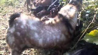 "getlinkyoutube.com-Goat Farming in Nepal ""Srijana Unnat Bakhra Palan""  Semlar, Rupandehi"