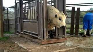 getlinkyoutube.com-Working the Herd Bulls - March 2012