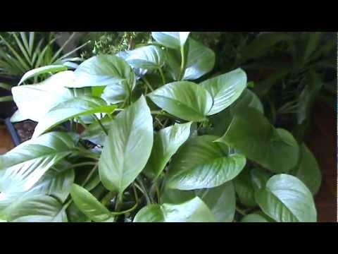 Planta Jibóia - Trepadeira resistente à falta de luz