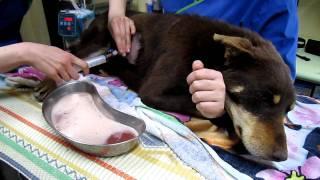 getlinkyoutube.com-Dog Unable to Breathe Full of Pus