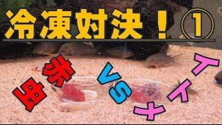 【コリドラス水槽#7】冷凍対決!【赤虫 vs イトメ】#ラウンド①