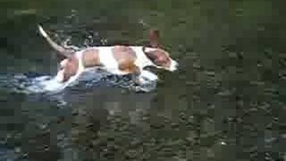 getlinkyoutube.com-Bassett Hound Daisy May takes a dip