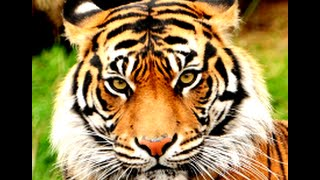 getlinkyoutube.com-Tiger as a Totem: Personality Characteristics and Life-Path Challenges