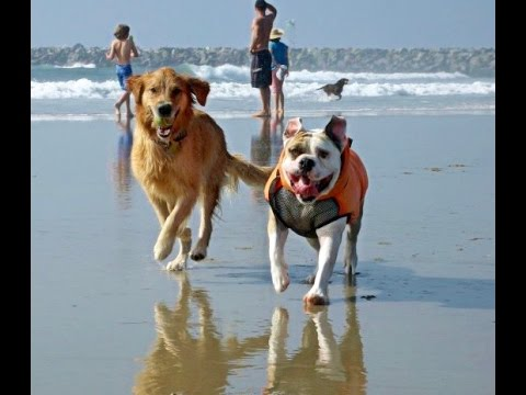 English Bulldog & Golden Retriever playing at the Beach
