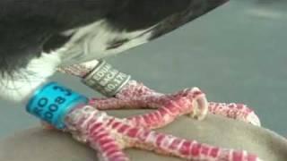 Porumbei voiajori racing pigeons Bacau