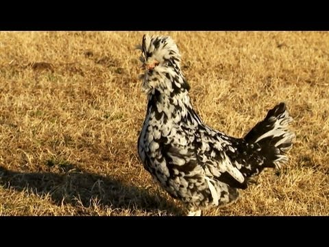 About Chickens and Poultry | Farm Raised Classics With P. Allen Smith
