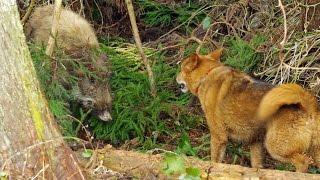イヌとイノシシの戦い【閲覧注意】Dog fighting Wild Boar[Viewer Discretion Advised]