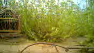 getlinkyoutube.com-bay chim cut tai can tho