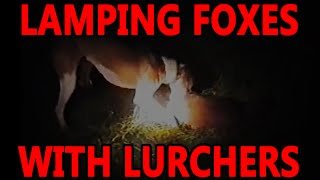 getlinkyoutube.com-Lamping Foxes With Lurchers | Working Lurchers