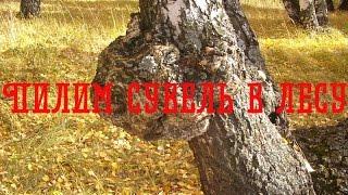 getlinkyoutube.com-Пилим сувель берёзы в лесу