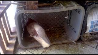 getlinkyoutube.com-pigeon de khouribga ( Ismail Fakhri)