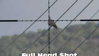 getlinkyoutube.com-Pigeon Dove Sparrow Hunting