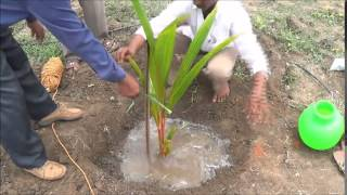getlinkyoutube.com-Coconut planting method_Tiptur
