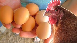 getlinkyoutube.com-What to feed your chickens so they lay eggs year round.